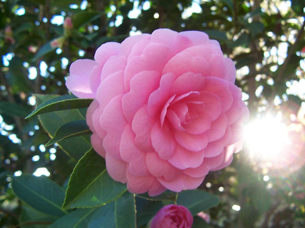 perfume-de-camelia-para-el-amor-1119561